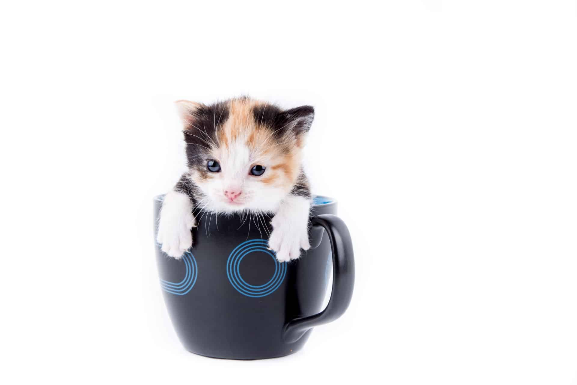 Pros And Cons Of Owning A Cat Affordable With Pros And