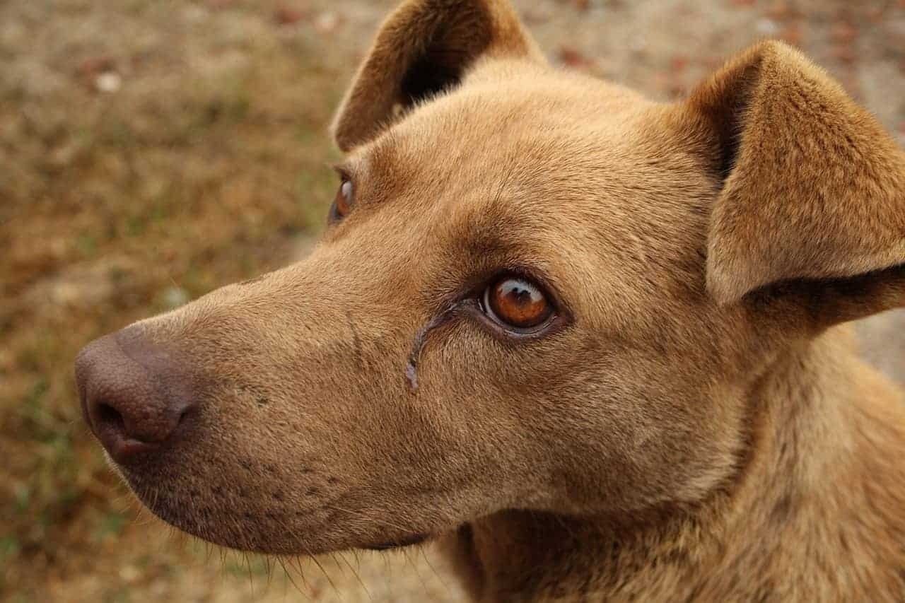 Stains Under The Dog's Eyes: How Can I Get Rid Of Those?