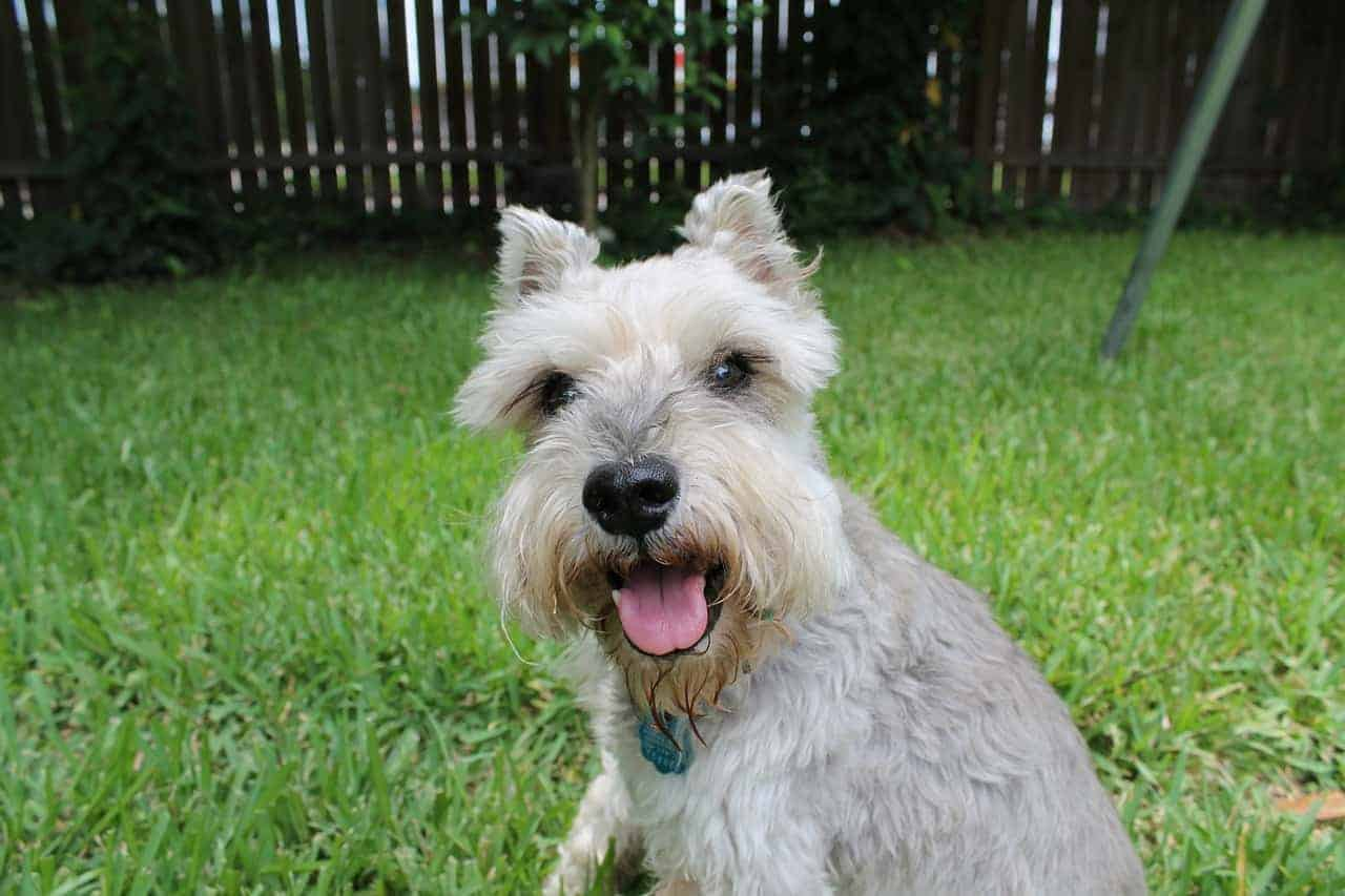 How To Keep A Schnauzer's Face White?
